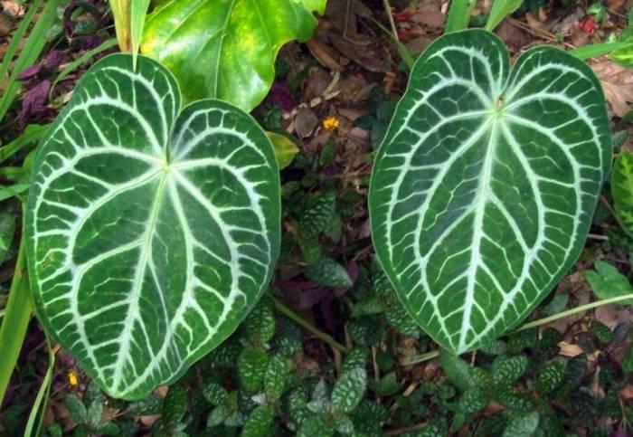 plant Anthurium-magnificum